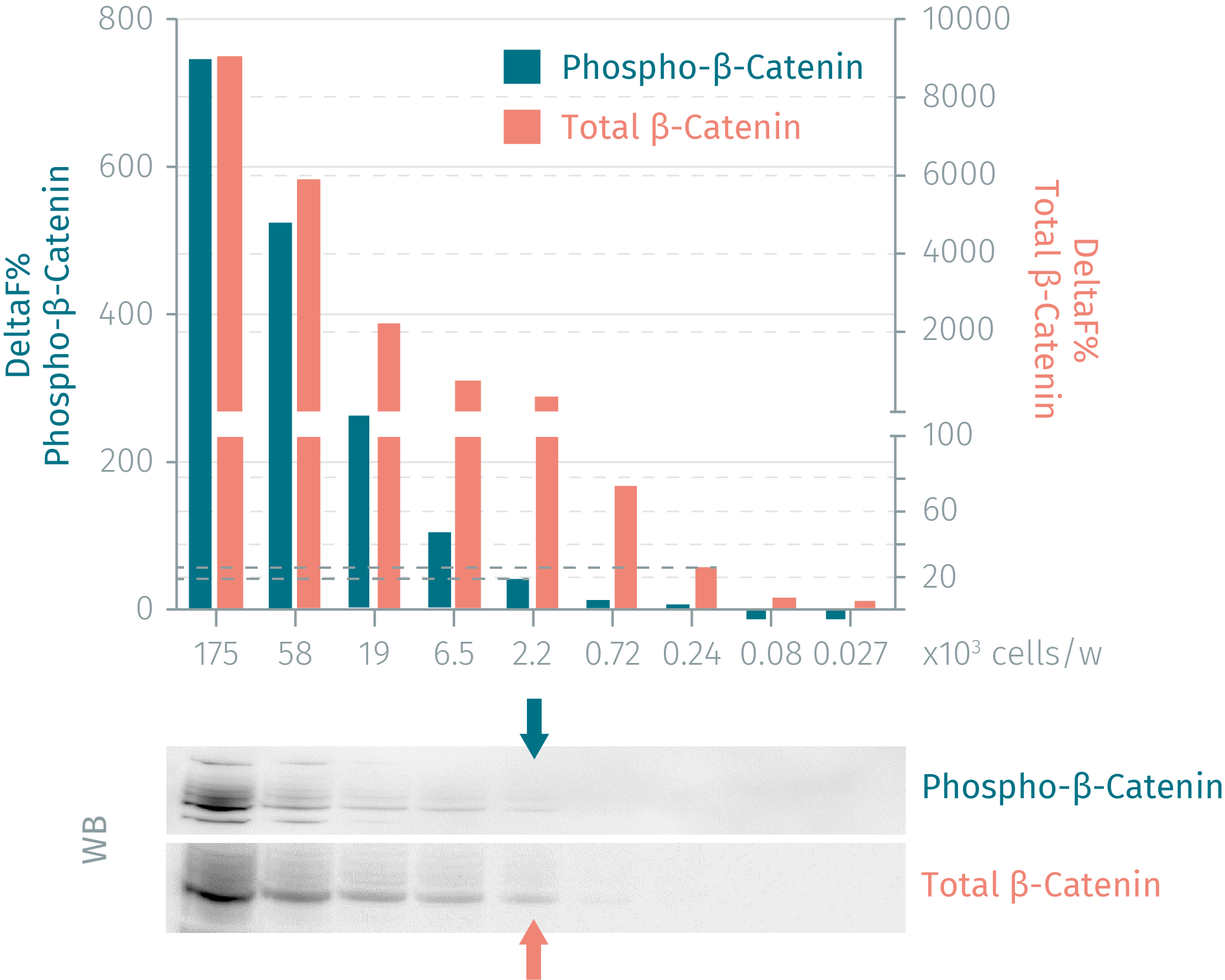 HTRFvesus Western blot using thephospho and total ß-Catenin assays
