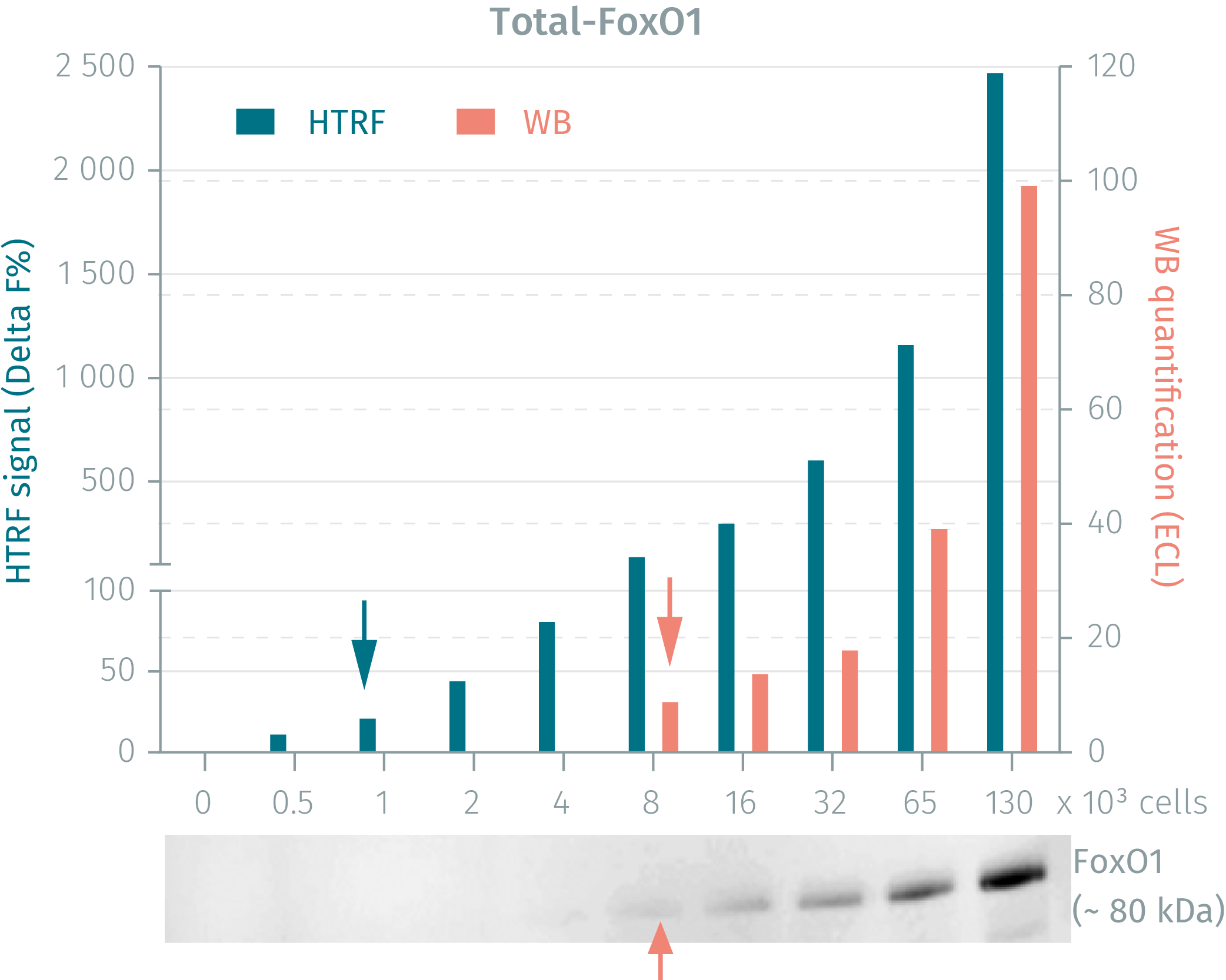 HTRF Total FoxO1 assay vs WB on human HEK293 cells
