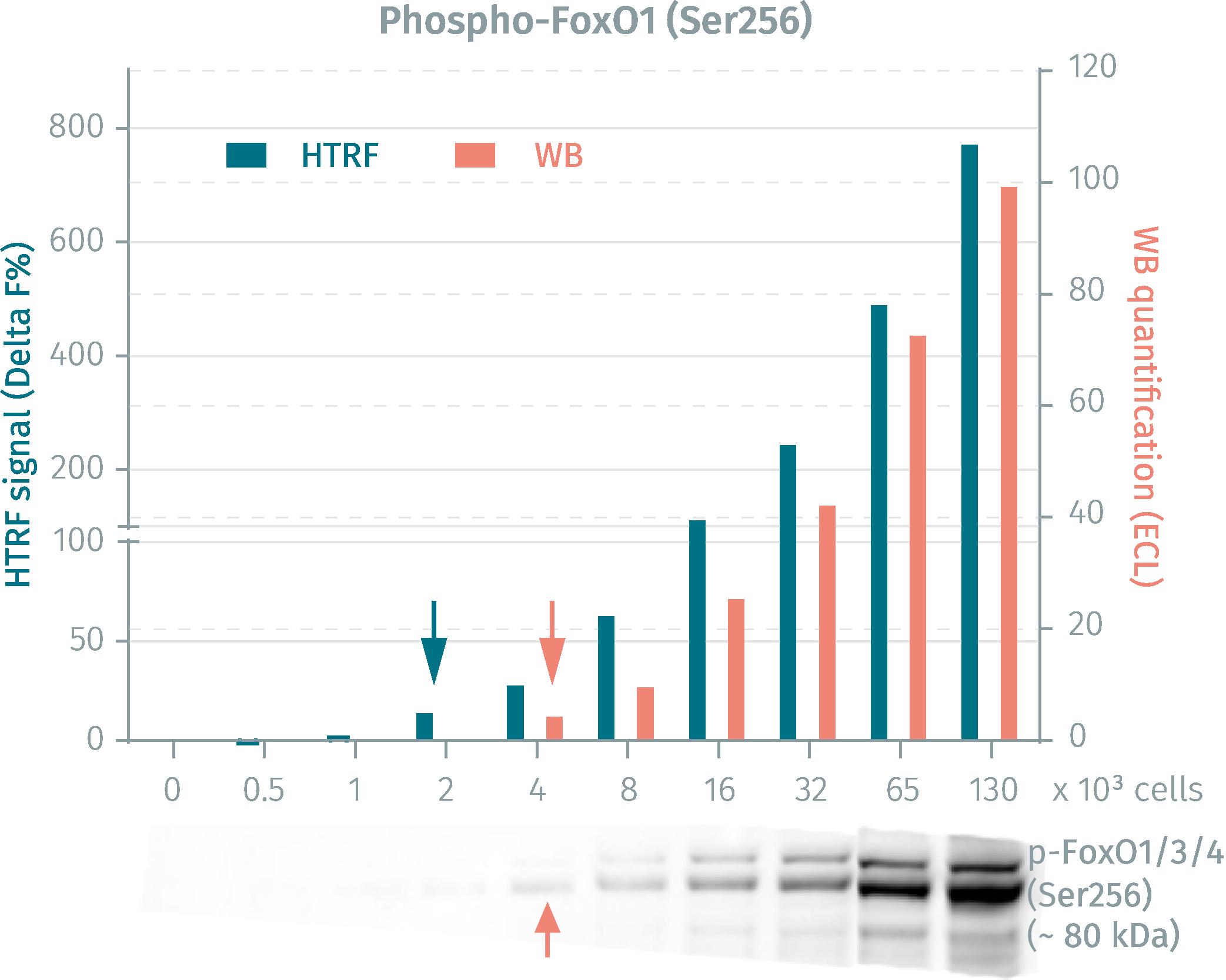 HTRF phospho-FoxO1 assay vs WB on human HEK293 cells