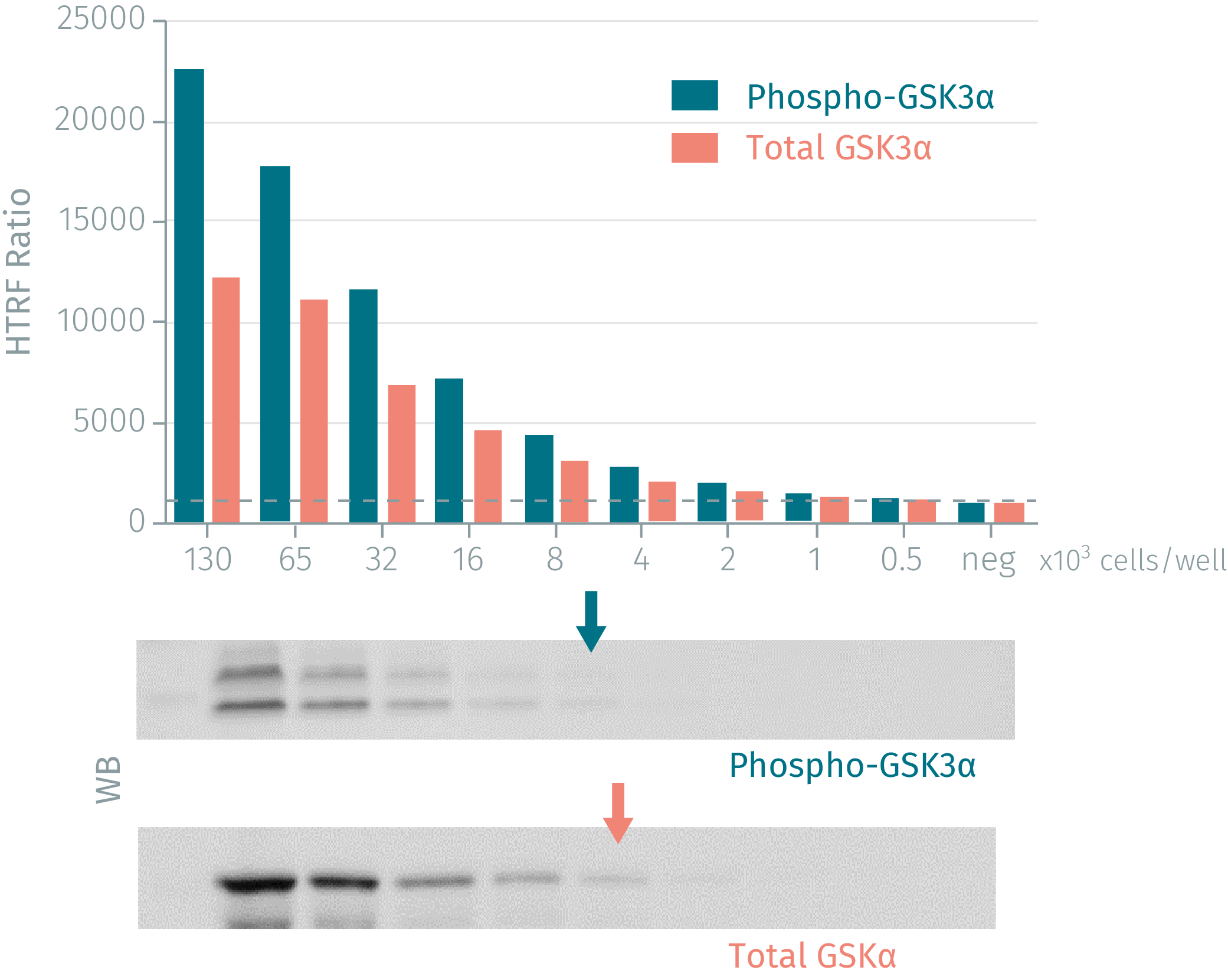 HTRF assay compared to Western Blot using phospho-GSK3a, total-GSK3a