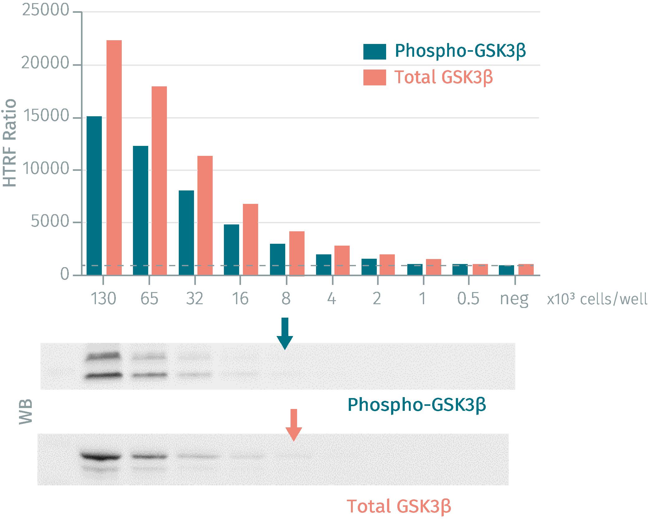 HTRF assay compared to Western Blot using phospho-GSK3ß and total-GSK3ß cellular assays