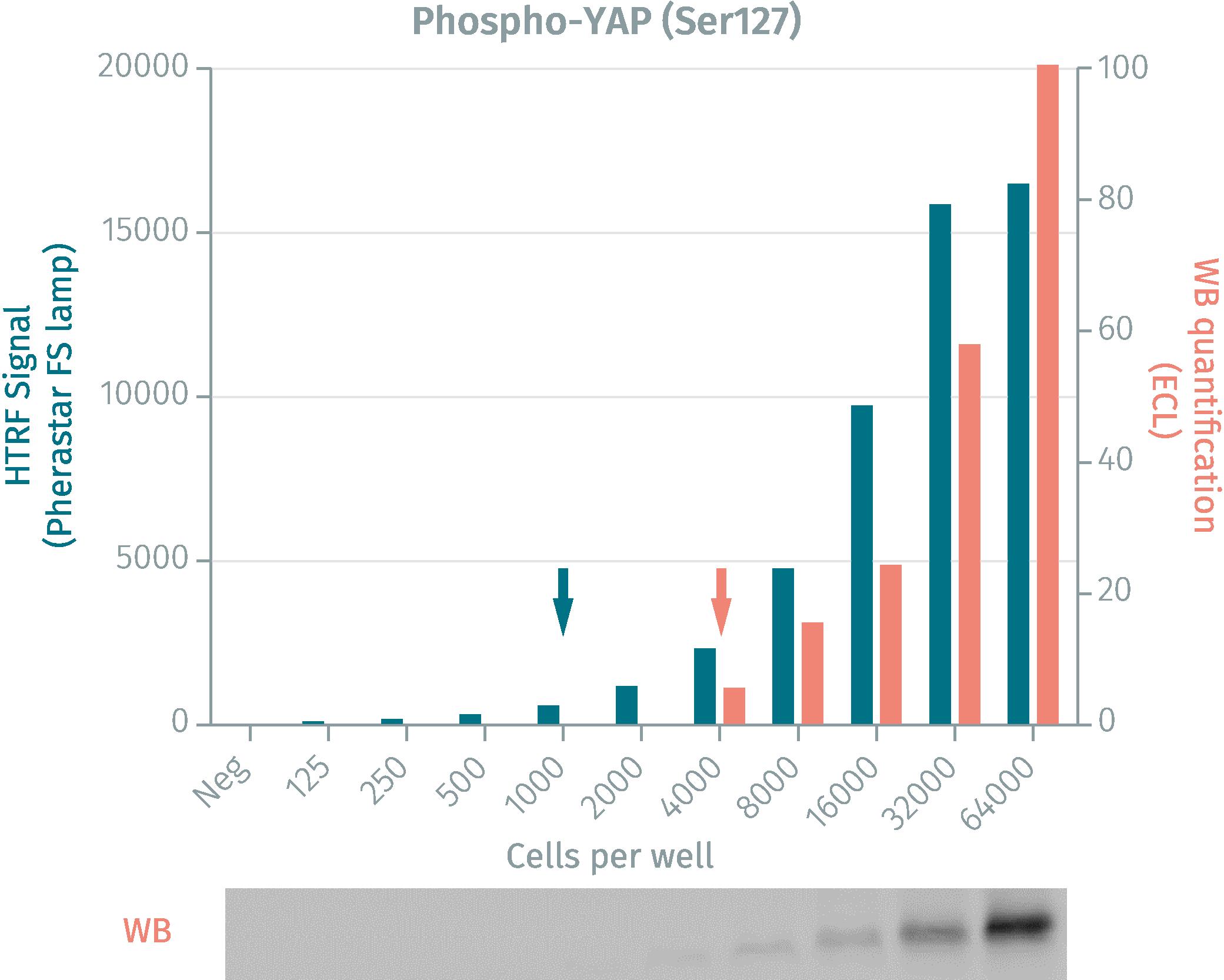 HTRF phospho-YAP cellular assay vs Western Blot