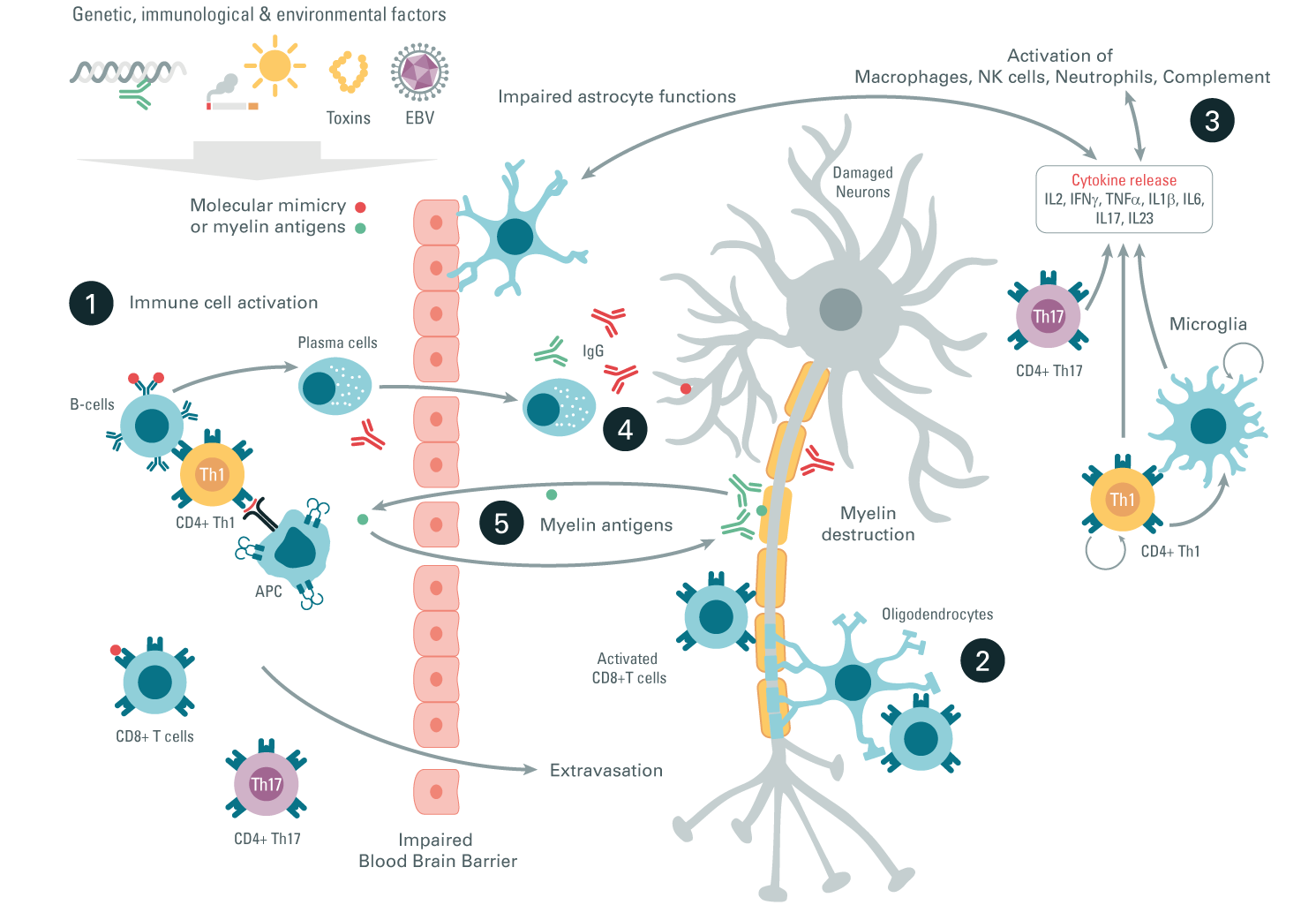multiple sclerosis inflammatory pathway